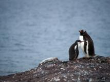 Two penguins huddled against one another
