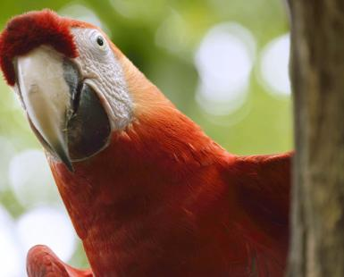 Red Macaw Parrot looking around a tree
